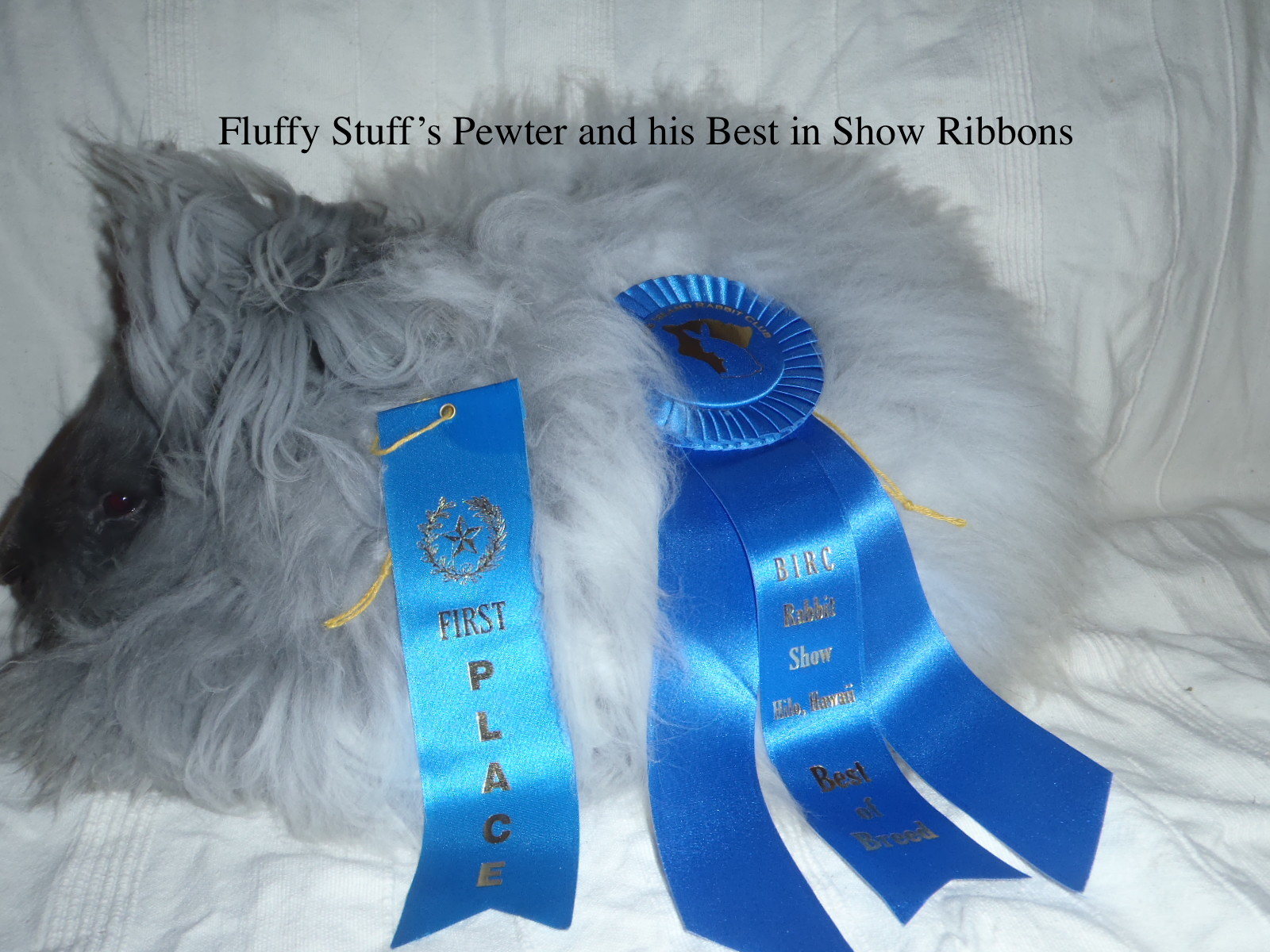 One of our rabbits Pewter and his Best in Show ribbons.