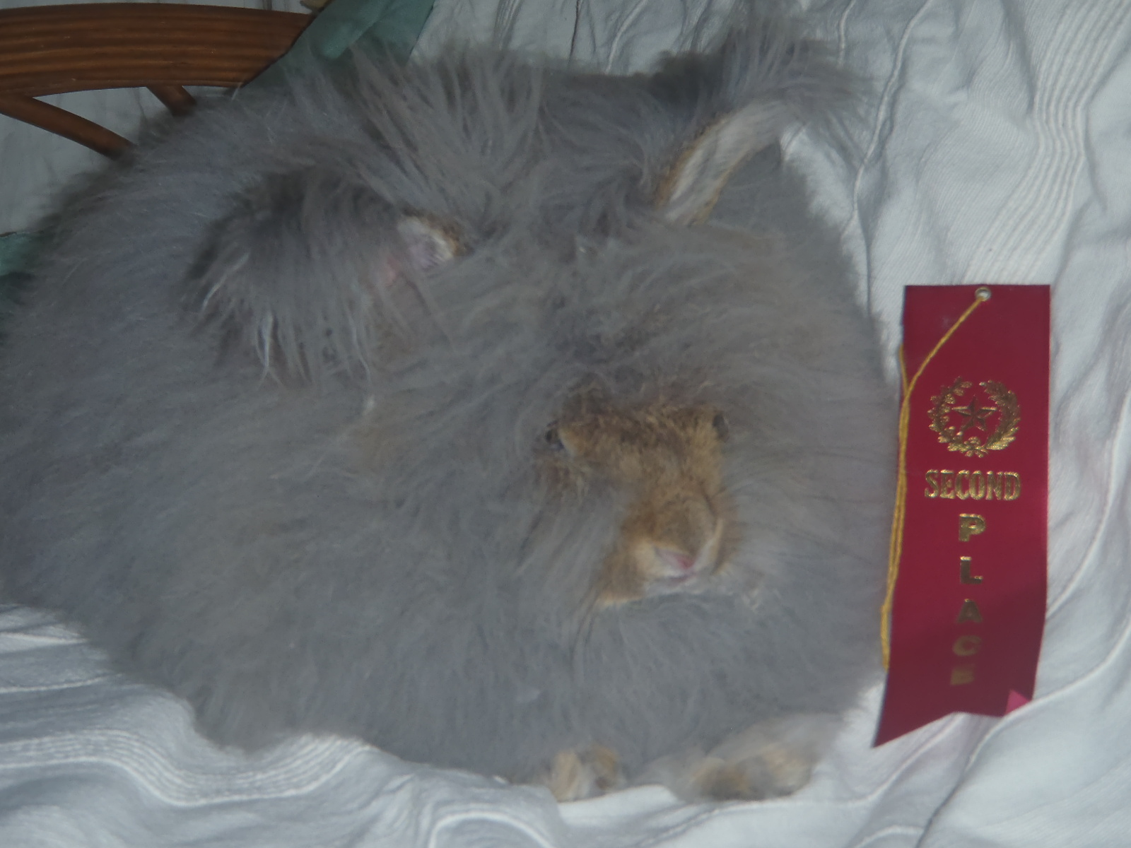 Photo of one of our English Angora rabbit.
