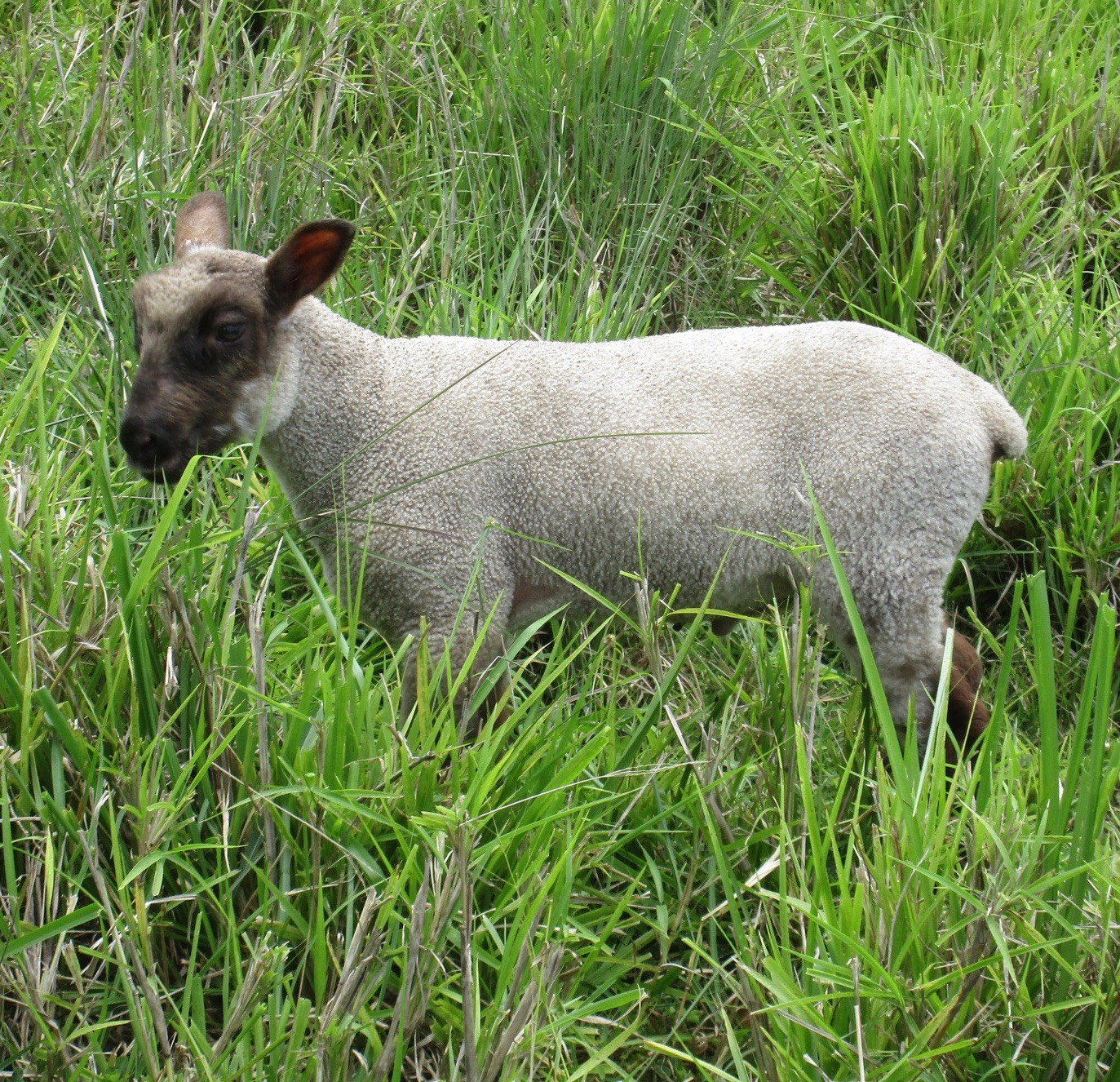Photo of Challis's ram lamb