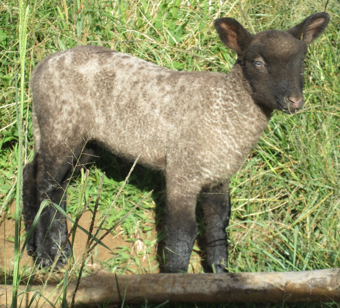 Lacy's 2nd born lamb