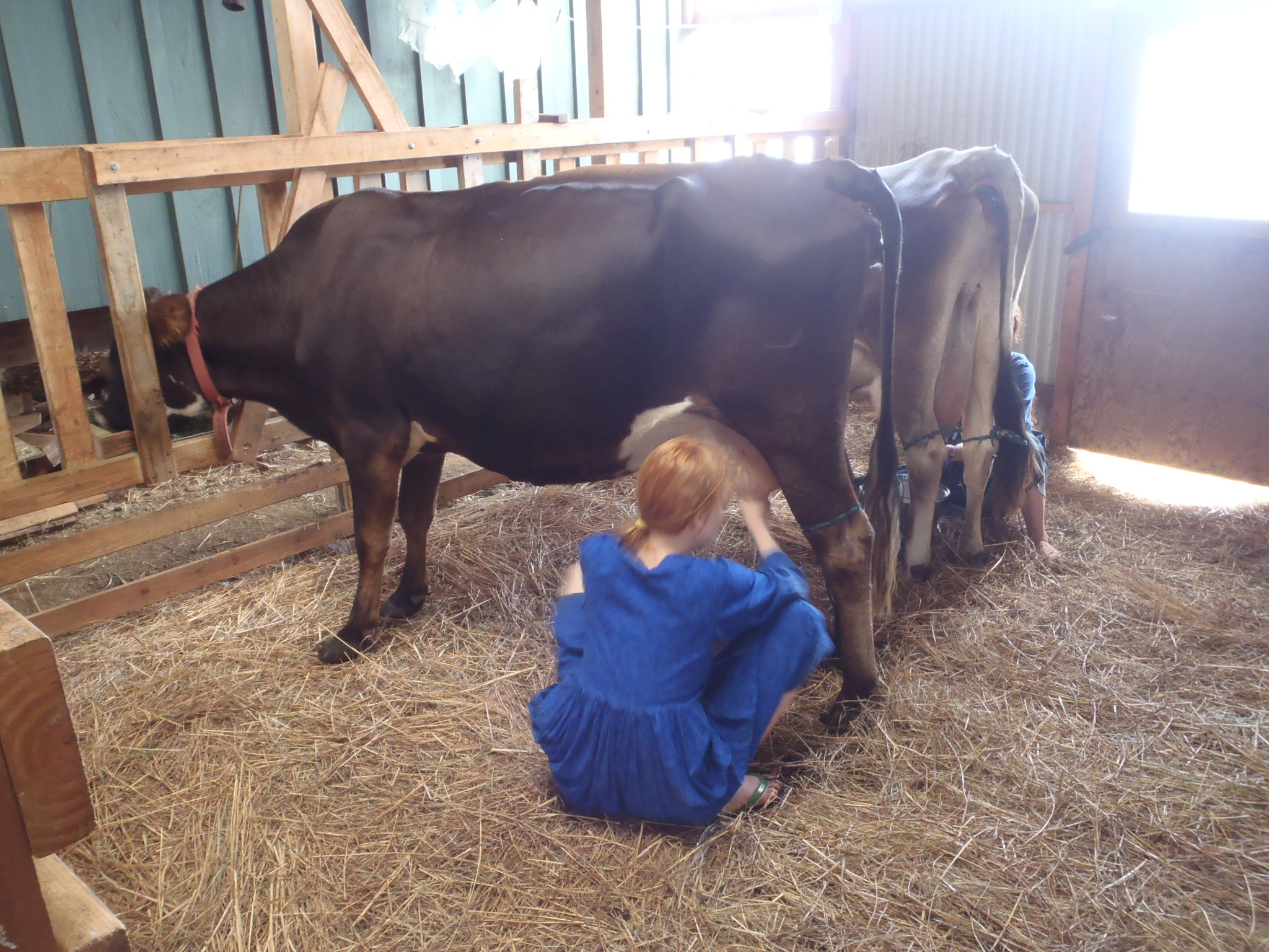 Dairy Lessons Learn The Basics Of Cow Care And Handling Milking Milk Processing