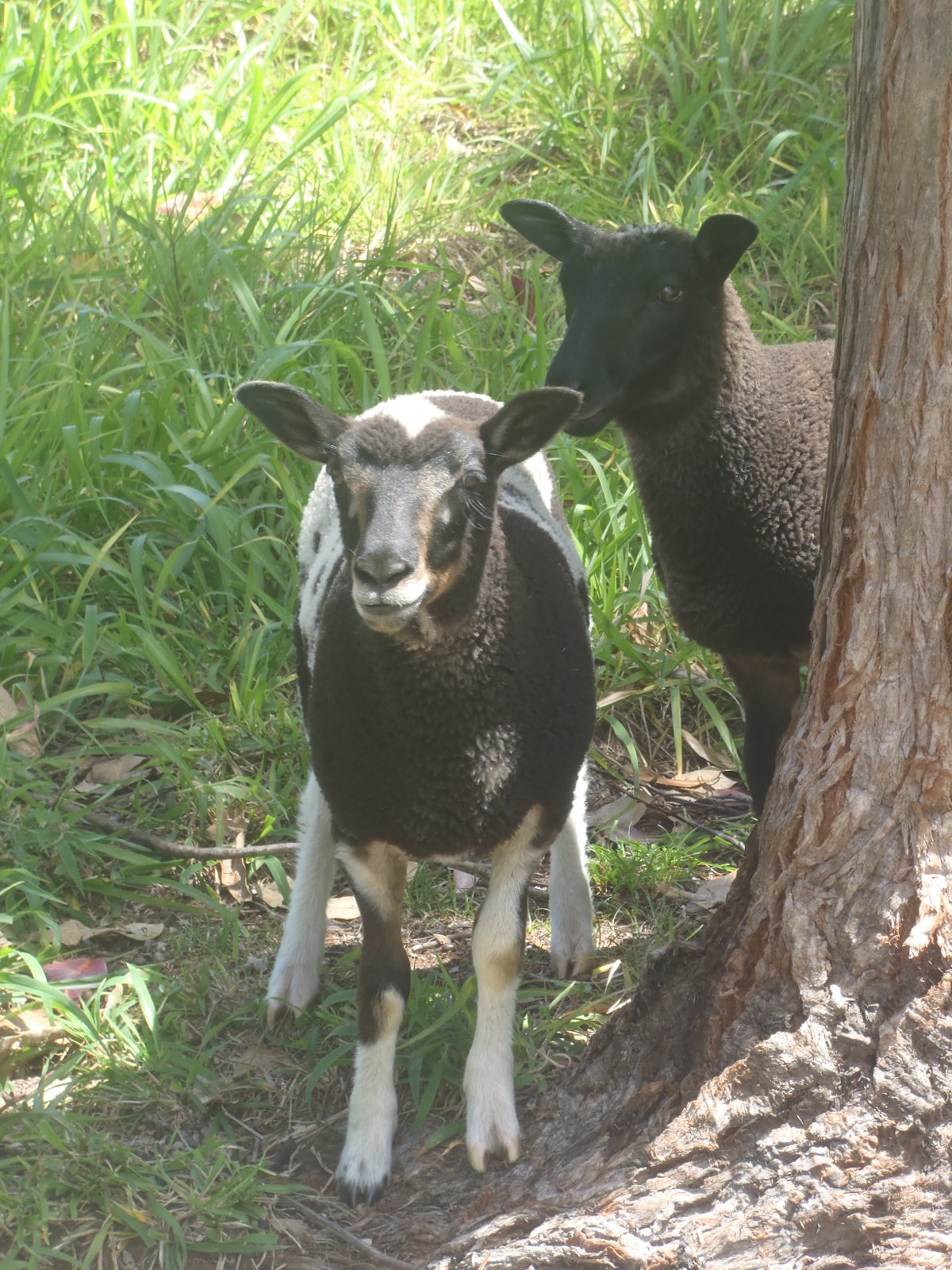 Forest's ewe lamb