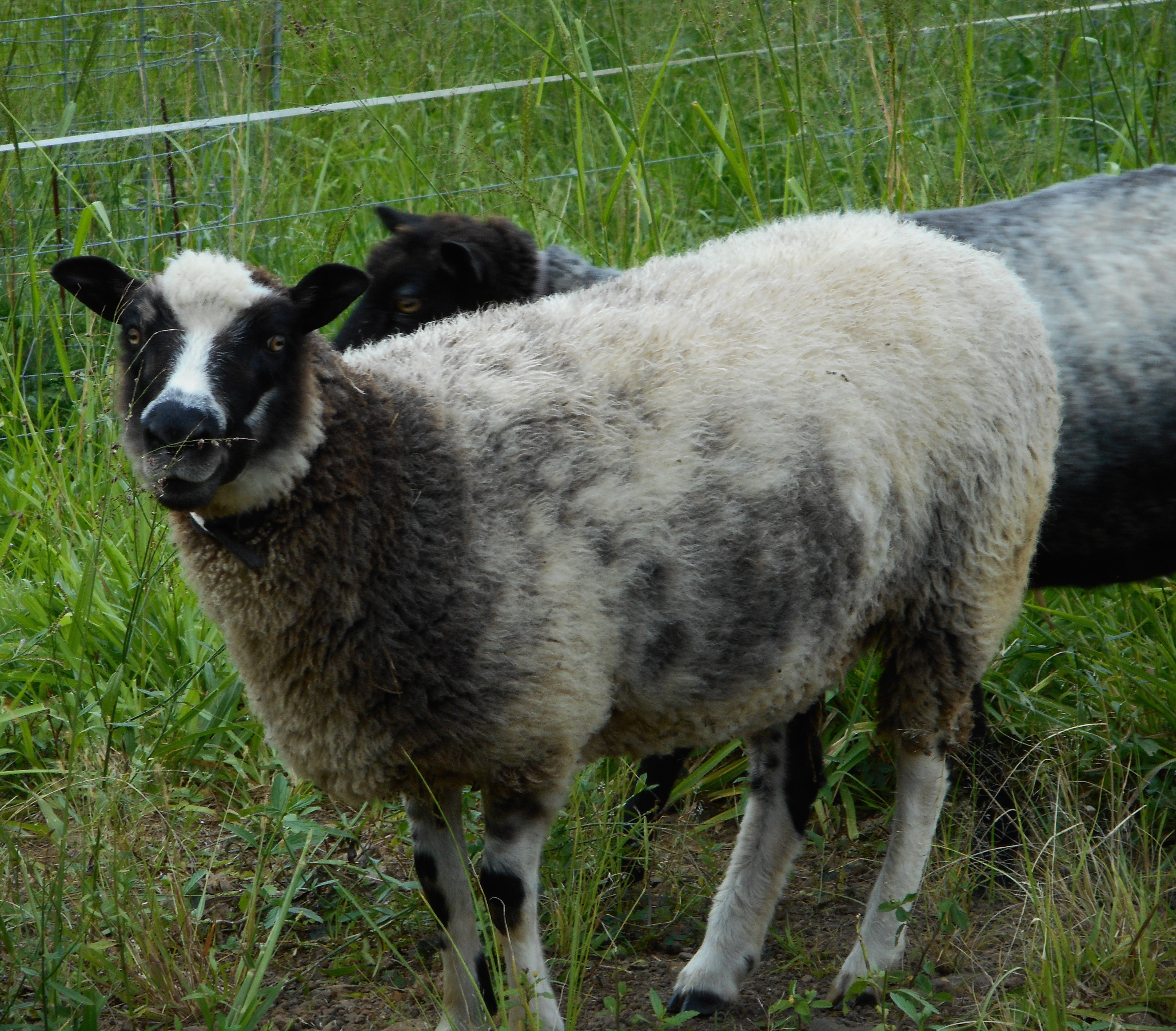 A photo of Fen's ewe from 2014