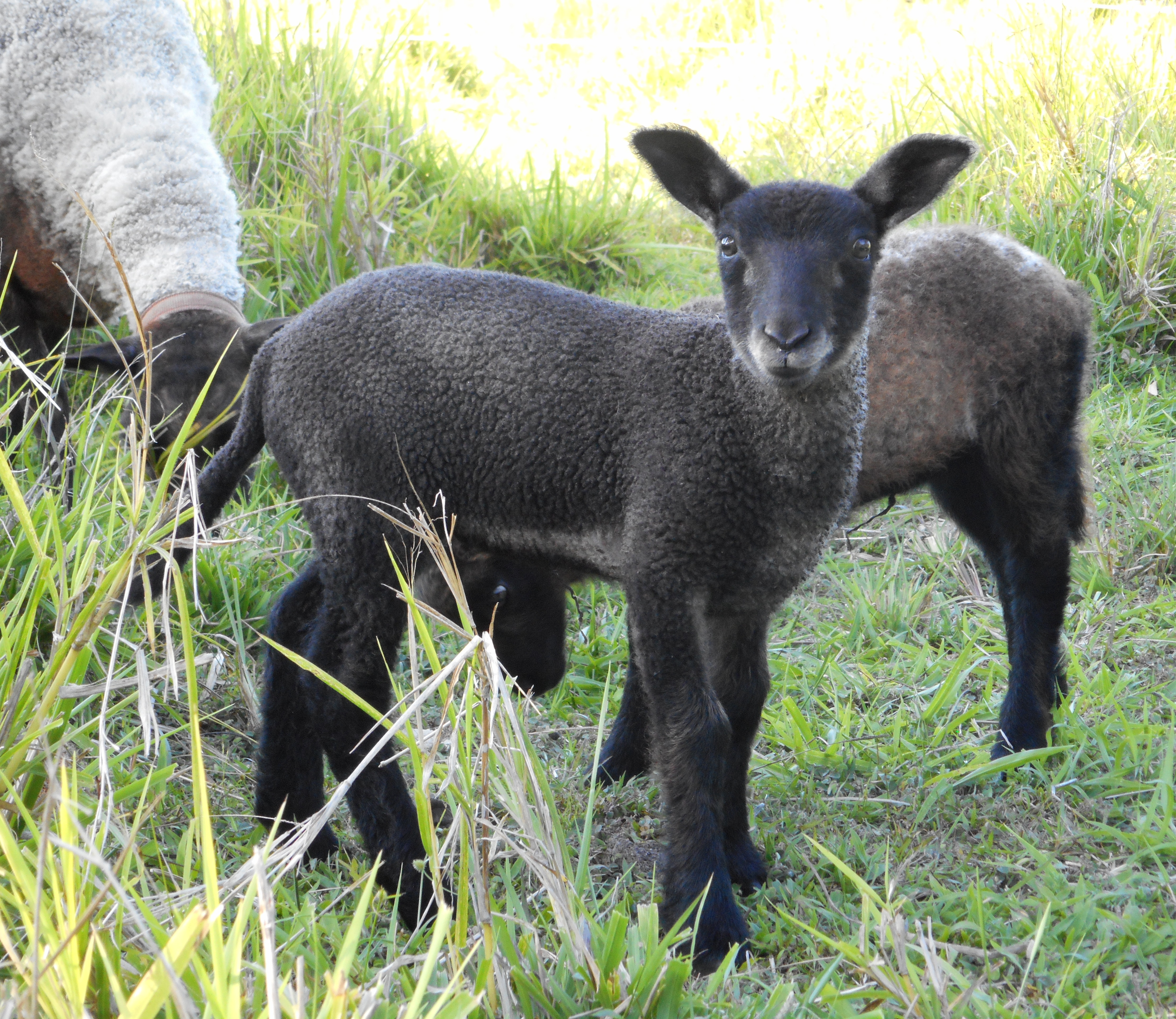 Cocoa's 2nd born lamb