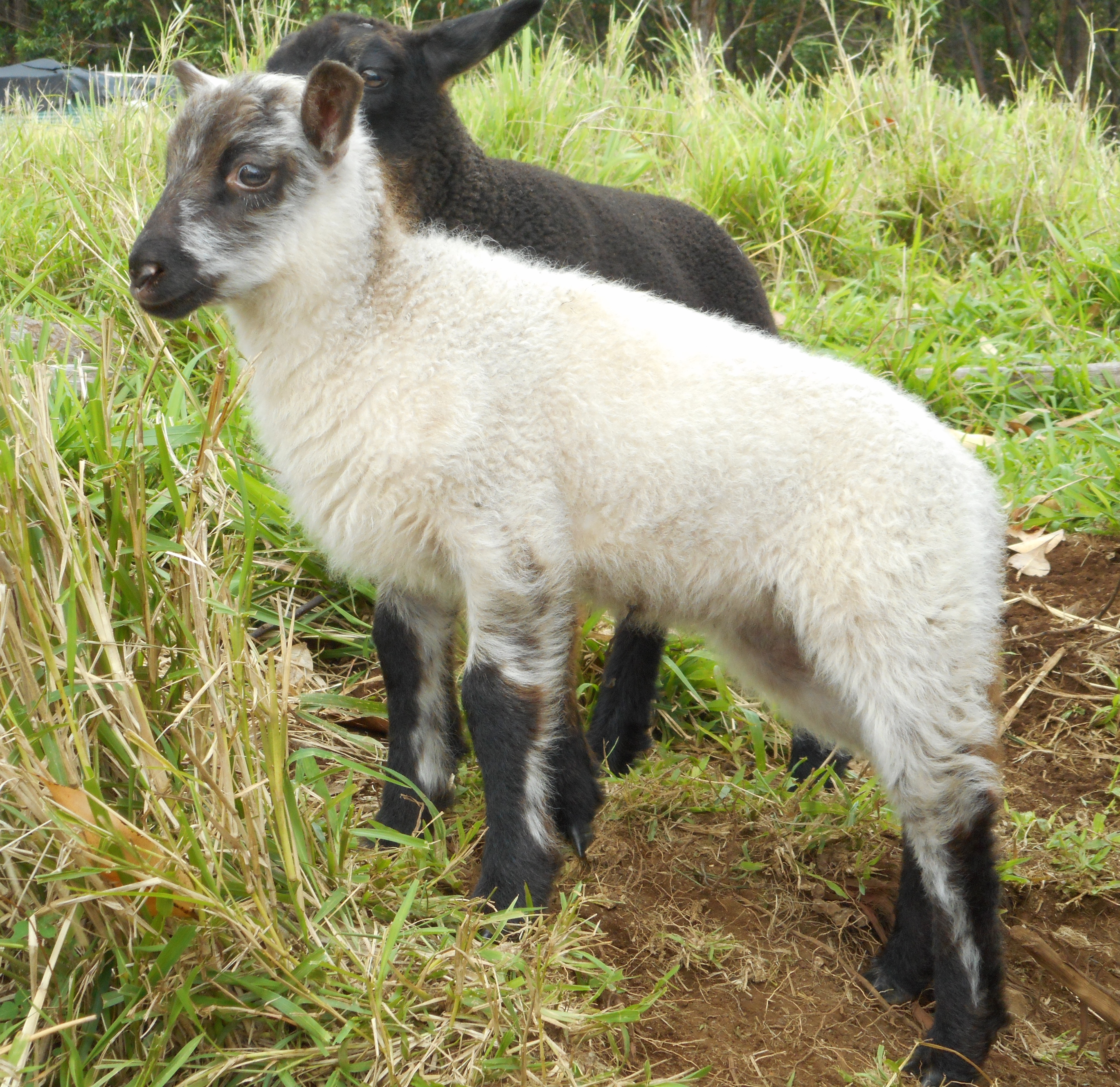 Clun Forest Lambs