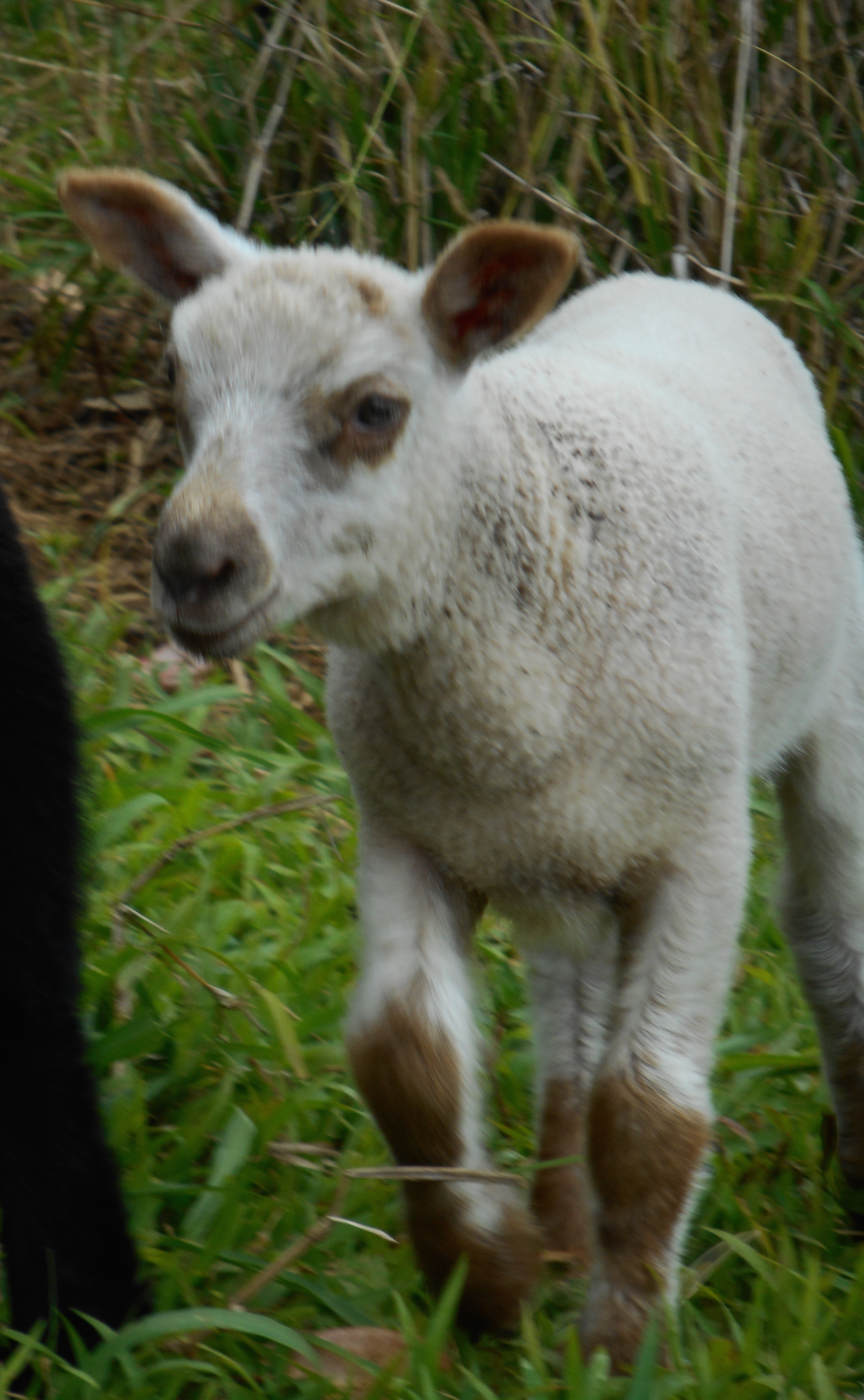2nd born ram lamb